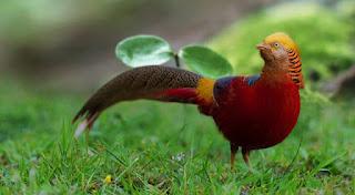 golden pheasant on grass Foto Golden Pheasant Terbaru Jual Ayam Hias HP : 08564 77 23 888   BERKUALITAS DAN TERPERCAYA Foto Golden Pheasant Terbaru Galeri Foto Golden Pheasant Terbaru