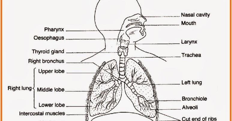 Biologi Gonzaga Ujian Respirasi