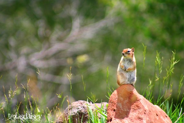 Angel Fire New Mexico Ground Squirrel Standing on a Rock