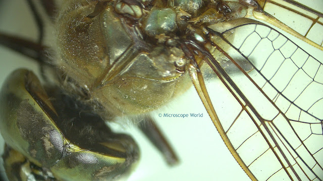 Stereo zoom microscope image of a dragonfly.