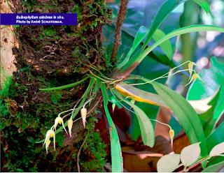 Anggrek Adolina ( bulbophyllum adolinae)