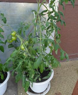 Конец мая, помидоры в вазоне завязывают плоды