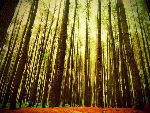 Tempat wisata hits Hutan Pinus Mangunan di jogja