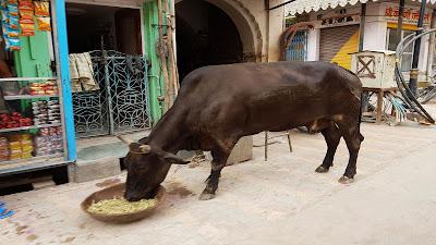 mucca domestica