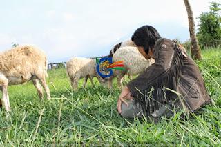 Wisata Domba Garut