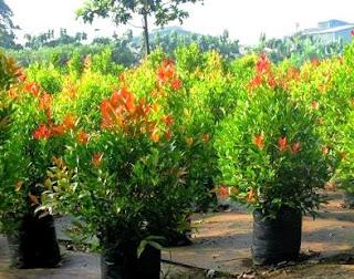 budidaya pucuk merah dengan stek,cara pembibitan pucuk merah dengan biji,cara budidaya tanaman hias pucuk merah,cara memperbanyak tanaman pucuk merah,cara menanam pucuk merah dengan stek,