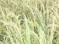 Pupuk Bioboost, pilihan petani Indonesia.