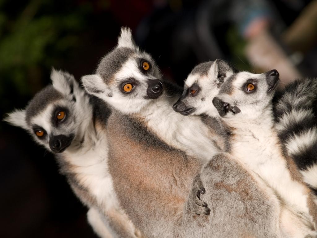 Lêmures | Lemuriformes