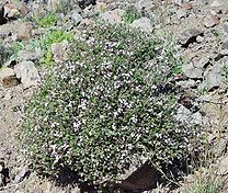 Herba Thymi atau Thymus vulgaris