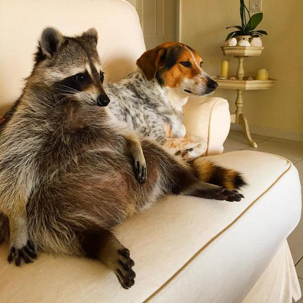 """Cuộc sống hạnh phúc của chú gấu mèo """"đội lốt"""" chó"""