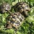 Jenis Kura-kura Yang Banyak Dipelihara