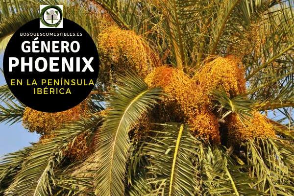 Lista de Especies del Género Phoenix, Plameras, Familia Arecaceae en la Península Ibérica