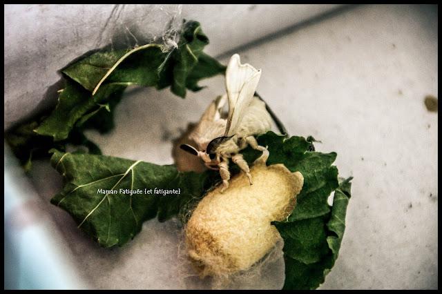 papillon vers à soie