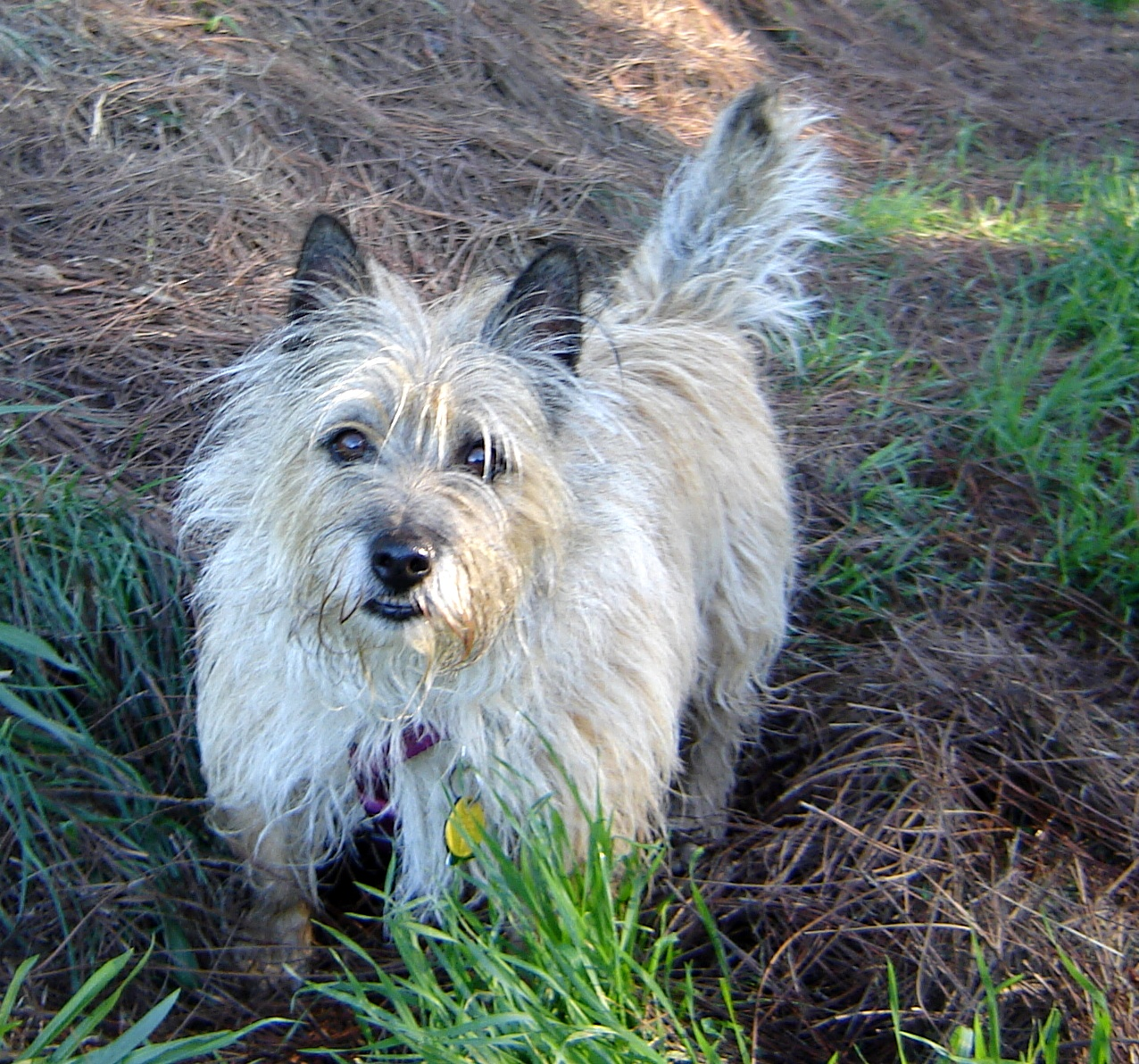 cairn terrier behavior health and feeding caring for pets by dr