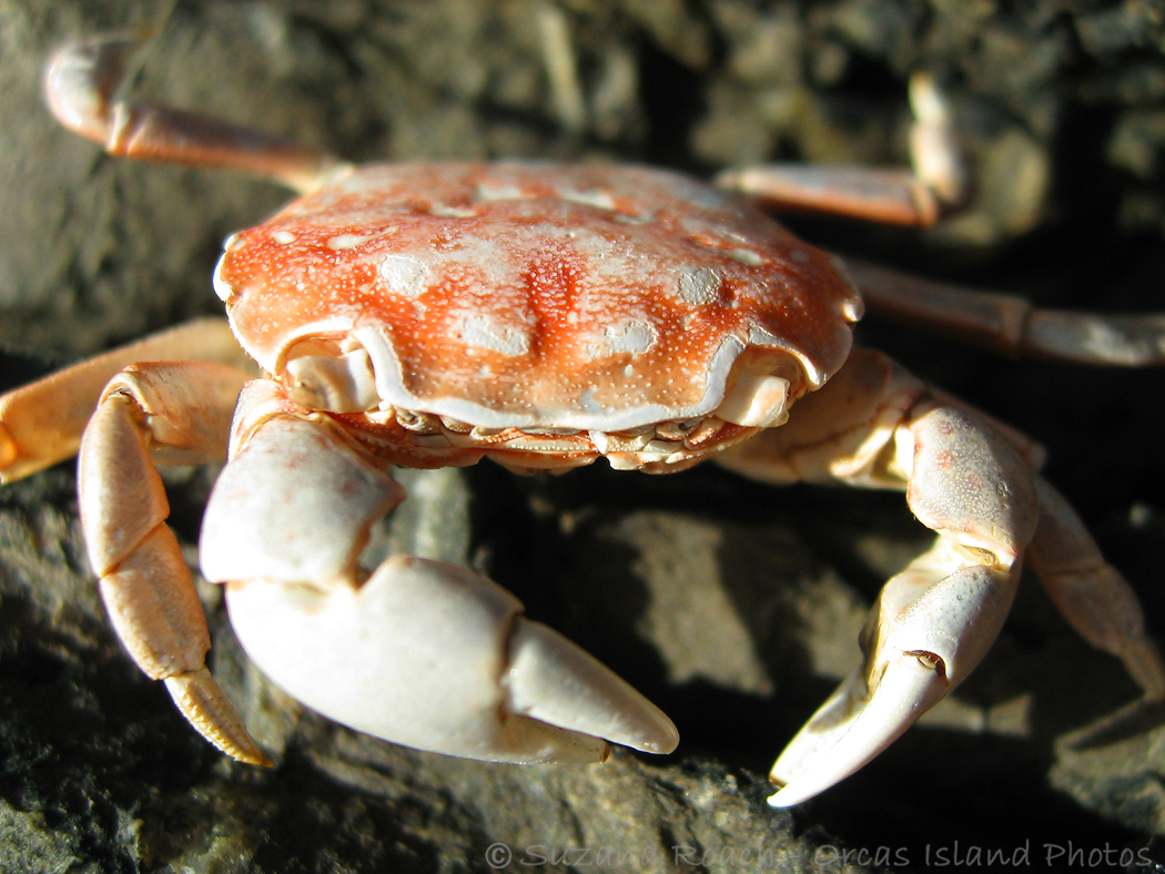 Crabs Wallpaper Aquatic Sea Animals