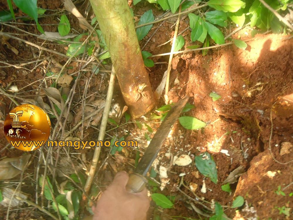 Cara mengambil bakalan bonsai Serut (streblus asper) dari alam bebas