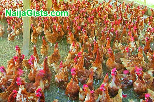 aluko poultry farm erin osun osogbo