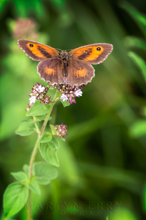 Orange and brown colours of a gatekeeper butterfly at Barnack Hills & Holes