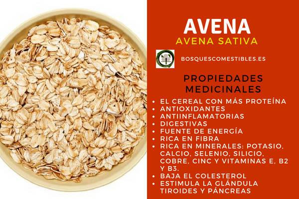 La avena, Avena sativa, tiene propiedades digestivas, antiinflamatorias, fuente de energía