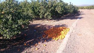 Omkring 50 kg bortsorterade clementiner.
