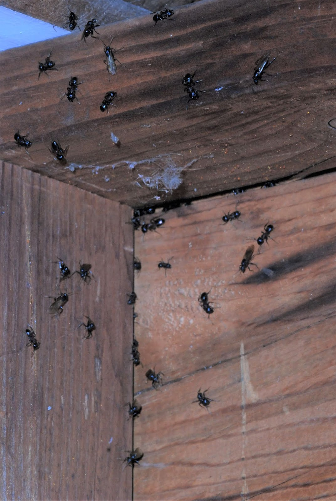 Carpenter Ant Swarms