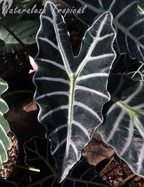 Detalle de la hoja de la planta Cara de Caballo o Cara de Burro, Alocasia sanderiana