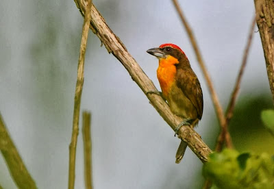 Scarlet crowned Barbet