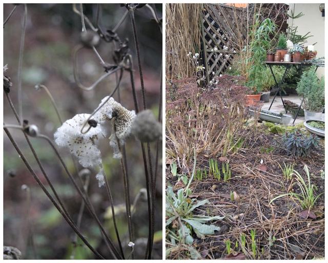 Frühblüher im Januar und vertrocknete Samenstände von Herbstanemone