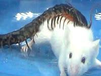 Video Mengerikan Kelabang Membunuh Tikus dalam 30 Detik
