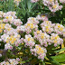 Edelweiss Bunga Abadi