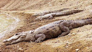 Big Gando Crocodiles laying by the water.