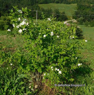 filadelfo philadelphus coronarius virginal minnesota snowflake rose lavanda orto erbe officinali sali aromatizzati ghirlande ortica ed altro a Savigno in Appennino Bologna Modena