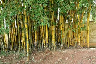 Bambusa vulgaris - Bambu listrado