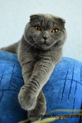 Британский вислоухий кот