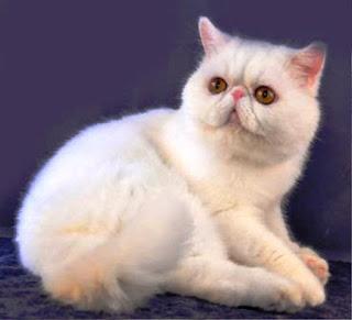 Gambar Kucing Persia Lucu 100017