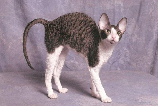 kucing teraneh dan terunik