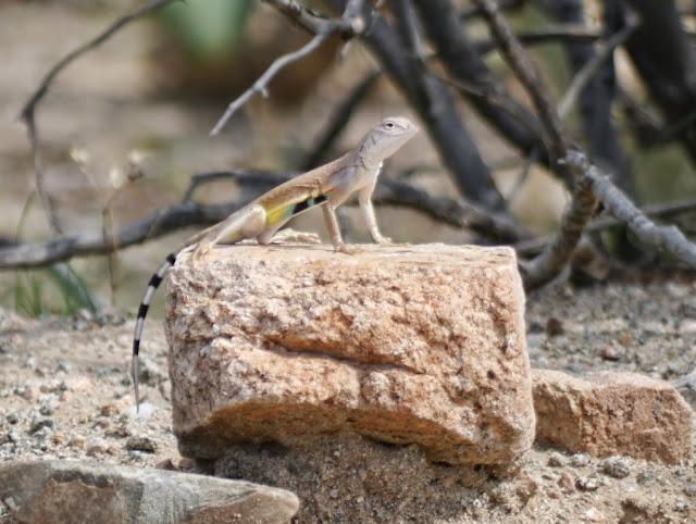 zebratail lizard (callisaurus draconoides)