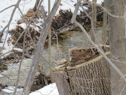 cut ash stump with a stream in the background