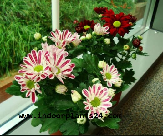 (Chrysanthemum Morifolium) Indoor house Plant