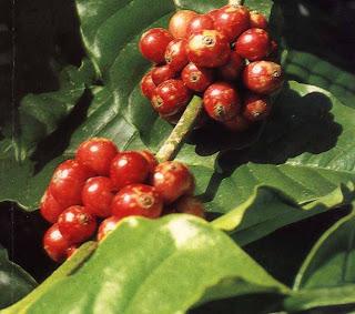 Biji kopi yang sudah siap diperdagangkan adalah berupa biji kopi kering yang sudah terlepa ARTIKEL PENGOLAHAN KOPI