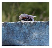 Une mouche robot radiocommandée