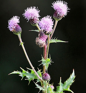 A thistle plant against a black background