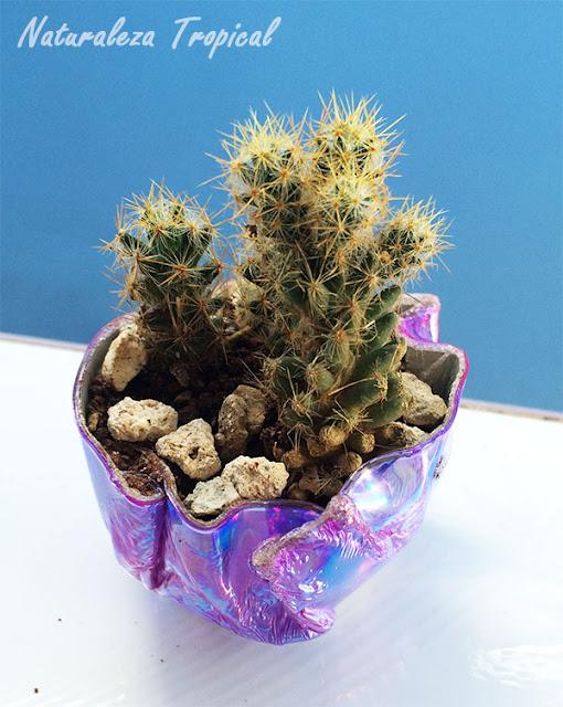 Cactus sembrado en una maceta de CD