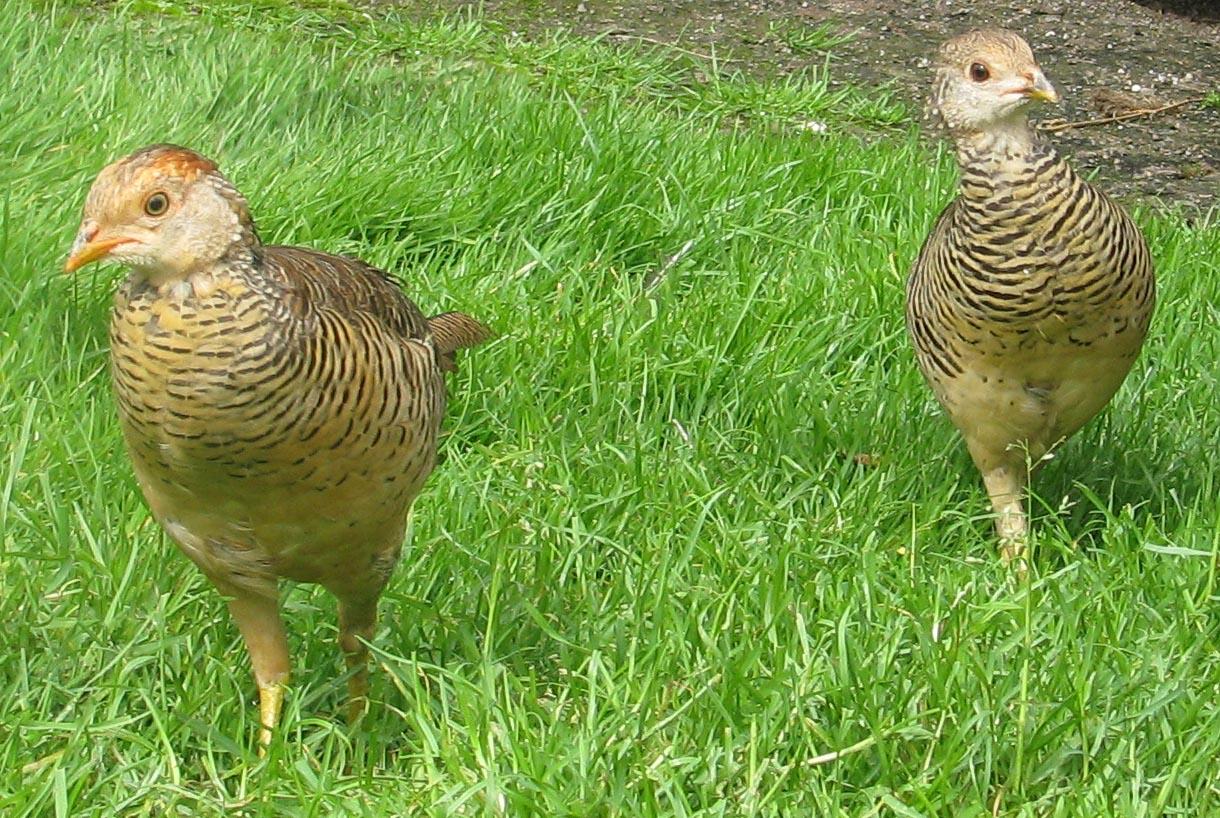 Golden Pheasant Anakan Bursa Ayam Hias Dan Burung Eksotis