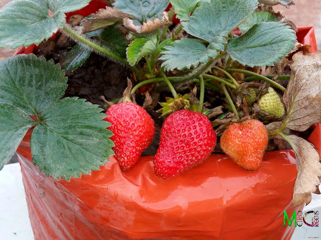 Ah! The final crop. Delicious, juicy, red strawberries, fresh from your own garden.