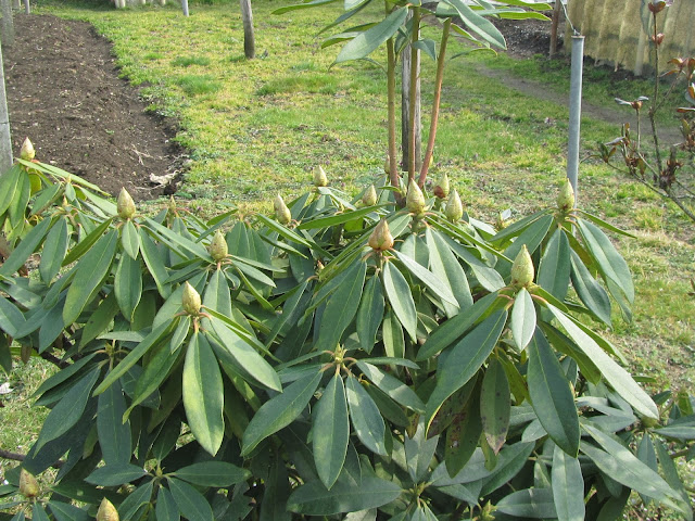 Chioma e Foglie Rododendro