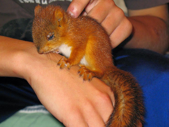 injured baby squirrel finland-2