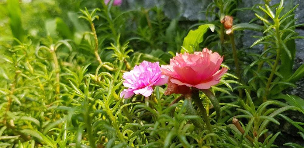 ดอกของต้นคุณนายตื่นสาย
