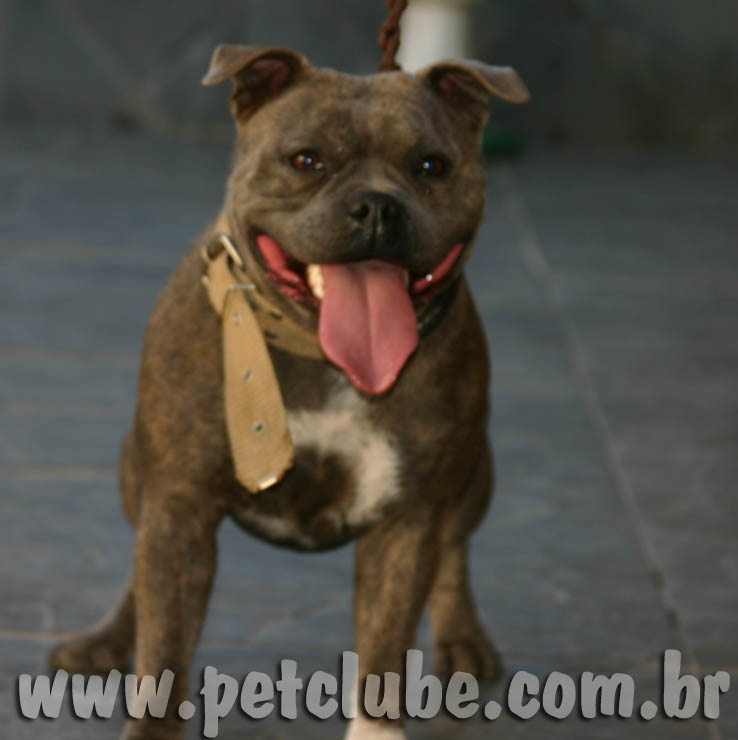 blue nose staffordshire bull terrier blue nose staffordshire bull terrier by amichetti kennel 7354