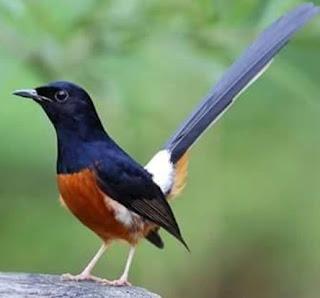 Burung Murai Batu - Mitos yang Selama ini Salah Tentang Mabungnya Burung Murai Batu - Penangkaran Burung Murai Batu